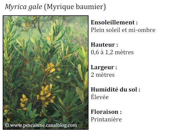 Myrique baumien